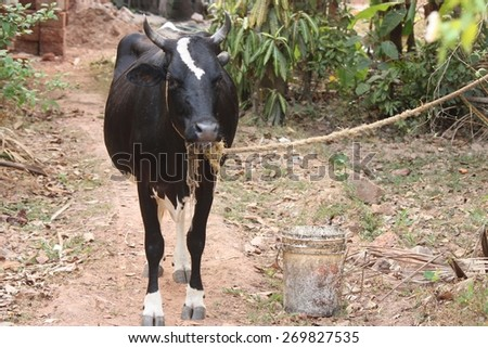 Black cow with rope and bucket of water selective focus