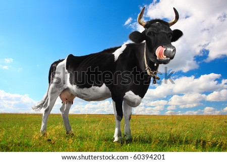 Black cow with white spots and big horns on meadow licking one's lips - stock photo