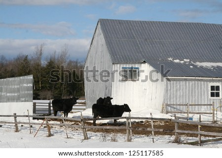 Black cows beside a grey barn in winter