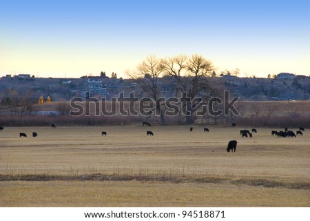 Black cows get an early start grazing just before sunrise on the Colorado prairie. - stock photo