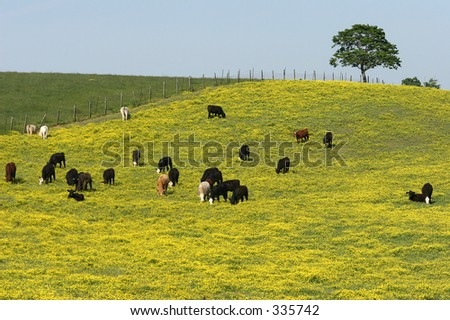 Black Cows in a Field of Yellow - stock photo