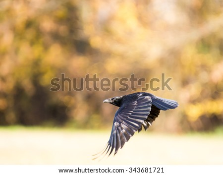 Black craw flying over a meadow - stock photo