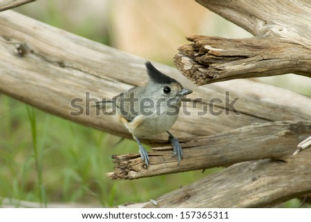 Black-crested Titmouse at Llano River State Park in Texas. - stock photo
