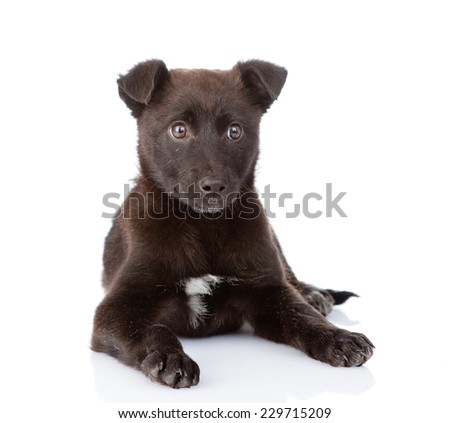 black crossbreed dog lying in front. isolated on white background - stock photo