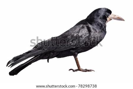 Black crow isolated on white background - stock photo