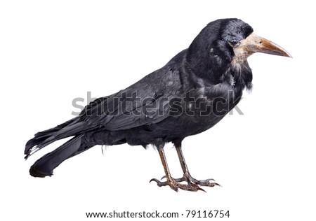Black crow isolated on white backround - stock photo