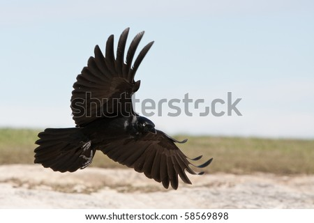 Black Crow landing with wings spread