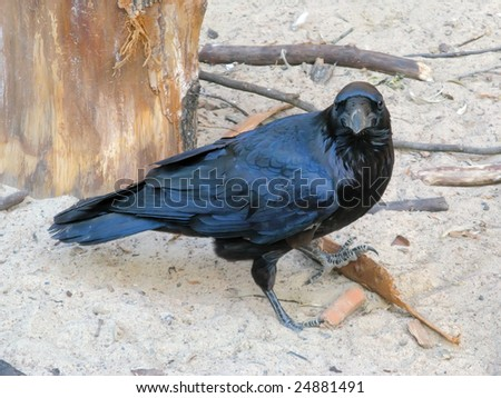 Black crow looking into the camera lens - stock photo