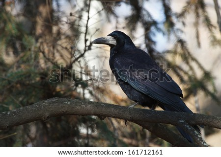 Black crow sitting on a tree branch in a forest - stock photo