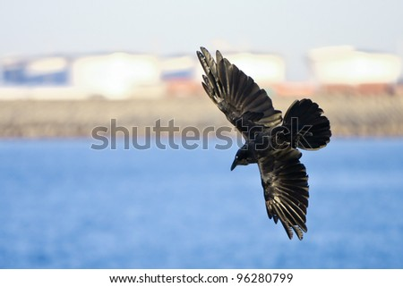 Black crow swooping in flight with wings spread
