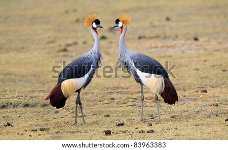 Black crown crane, Masai mara, Kenya - stock photo