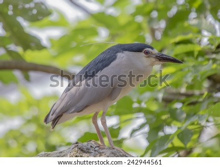 Black-Crowned Night-Heron - stock photo