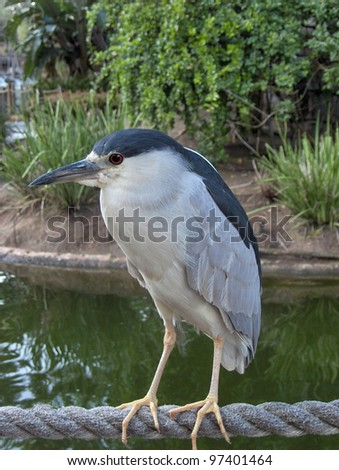 Black Crowned Night Heron - stock photo