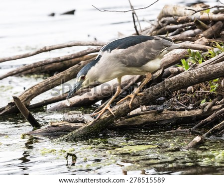 Black-crowned Night Heron Fishing - stock photo