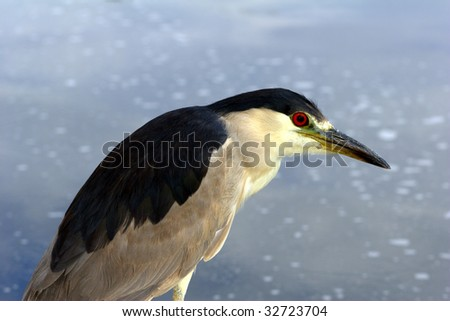 Black-crowned Night-Heron looking at a near-by reflecting lake - stock photo