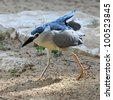 Black-crowned Night Heron (Nycticorax nycticorax) - stock photo