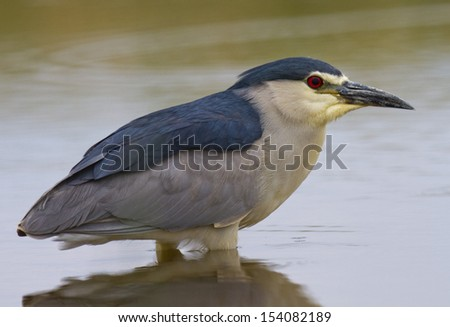 Black-crowned Night-Heron Nycticorax nycticorax - stock photo
