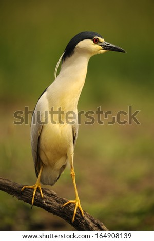 black-crowned, night heron, Nycticorax nycticorax