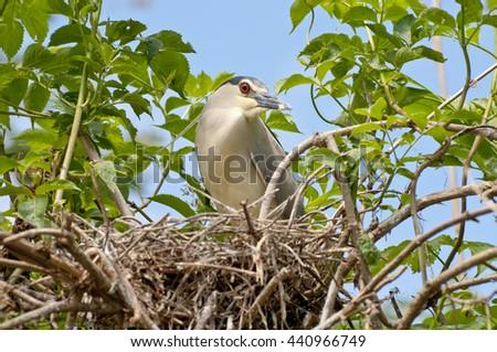 black-crowned night heron (Nycticorax nycticorax) - stock photo