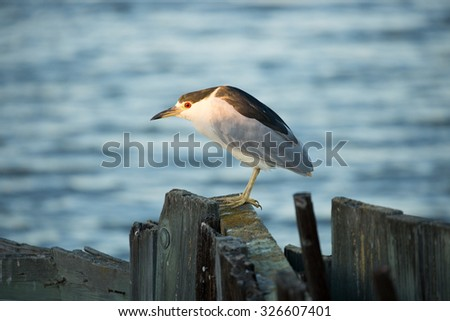Black-crowned Night Heron (Nycticorax nycticorax), face-lit - stock photo