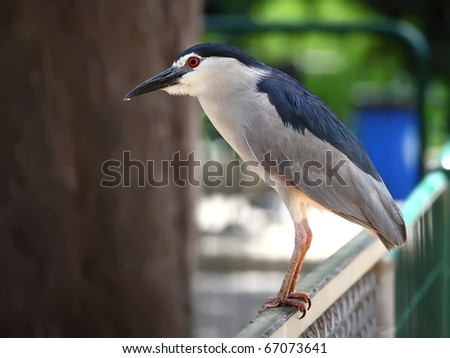 Black-crowned Night Heron (Nycticorax nycticorax) sitting on fence