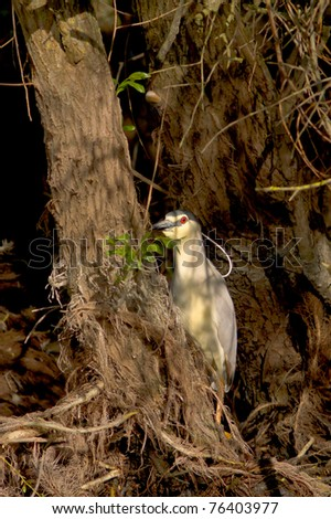 Black-Crowned Night-Heron on the ground / Nycticorrax nycticorax