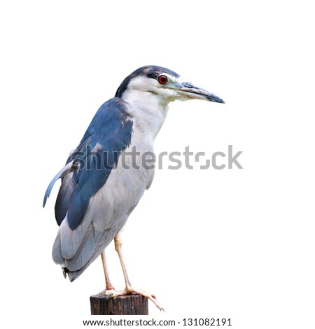 Black-crowned Night-Heron on white background.(Nyctico rax nycticorax)
