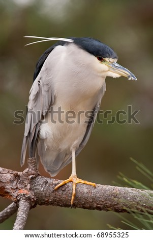 Black-crowned Night-Heron standing on one leg on a branch.