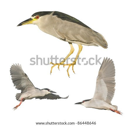 Black-crowned Night- Herons perching and in flight.  Latin name - Nycticorax nycticorax.