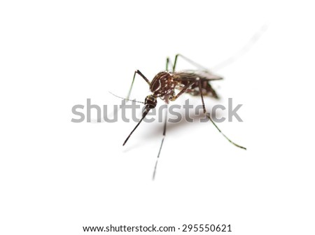 black culex mosquito on white background