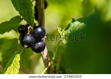 black currant on a branch in the garden - stock photo
