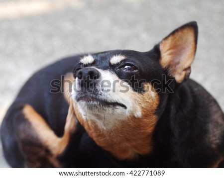 black cute lovely fat funny miniature pinscher dog scratching fleas or parasite at right ear with a leg making funny face close-up outdoor under natural sunlight