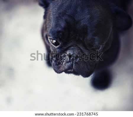 Black cute male pug on black background - stock photo