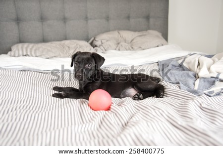 Black Cute Puppy on Bed with Pink Ball - stock photo