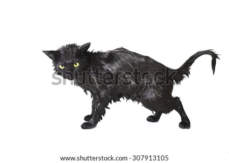 Black Cute Soggy Cat after a Bath, Funny Angry Little Demon. Pet Care - stock photo