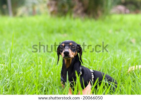 black dachshund - stock photo