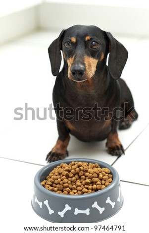 Black Dachshund breed sitting behind a full bowl of dog food awaiting command to eat - stock photo