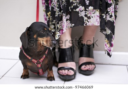 Black Dachshund dog sitting on floor looking to the side - stock photo