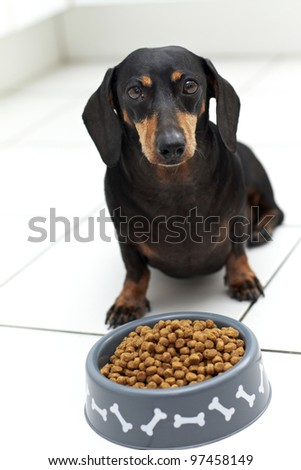 Black Dachshund dog sitting with full bowl of food - stock photo