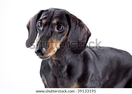 Black Dachshund isolated on white background