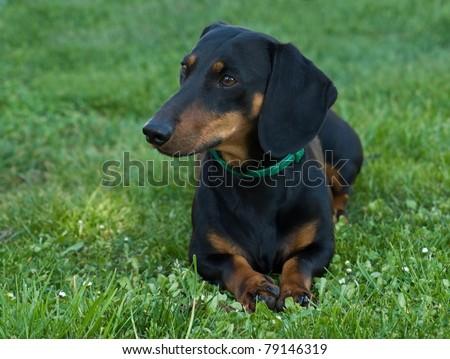 black dachshund lying in grass - stock photo