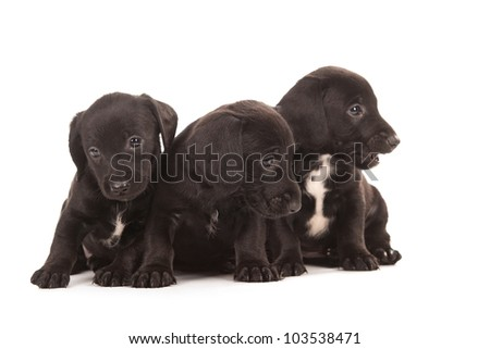 Black dachshund puppies with Messy mouths, isolated on white - stock photo