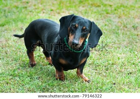black dachshund standing in grass - stock photo