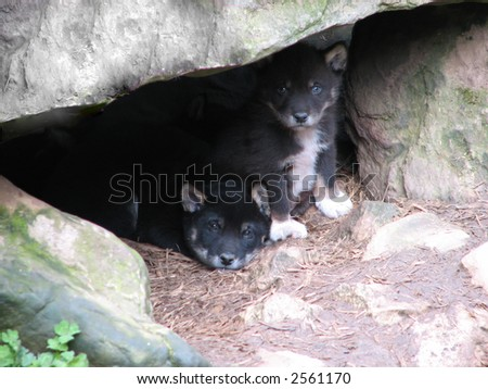 black dingo puppies - stock photo