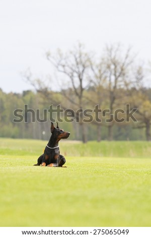 black doberman dog is laying on the green grass - stock photo
