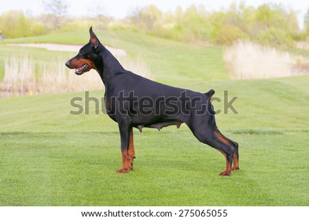 black doberman dog is standing in profile on the green grass - stock photo