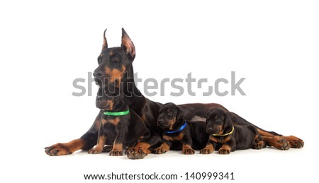 Black Doberman dog with puppies on white - stock photo