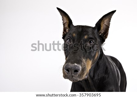 Black Doberman looking at the camera