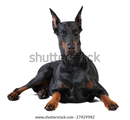 black doberman on white background