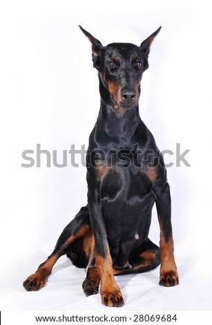 black doberman on white background - stock photo